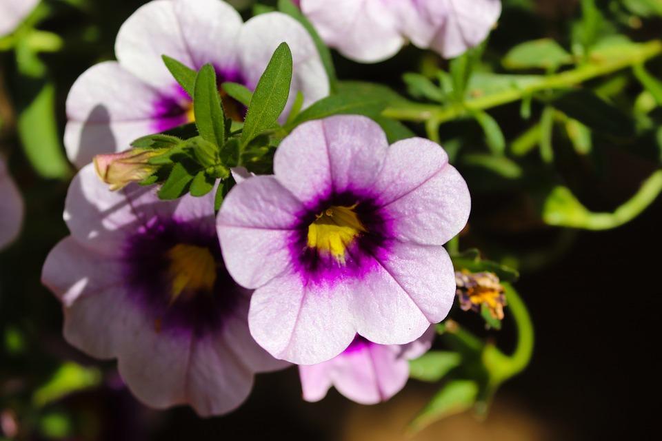 Petunia, Violet, Close Up, Garden Petunia, Petals