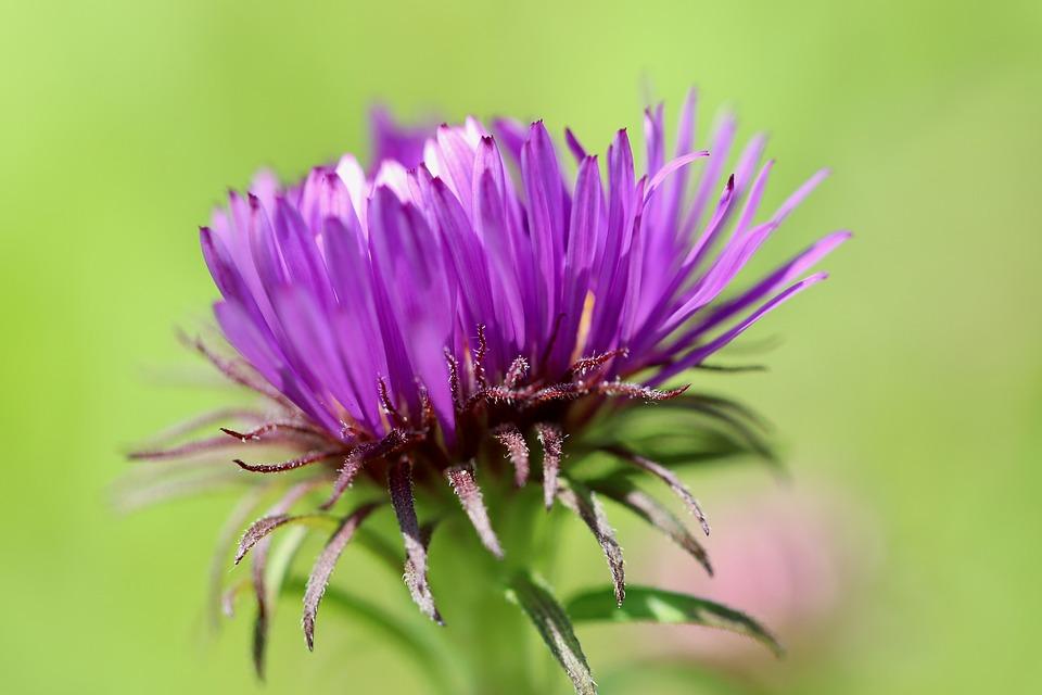 Aster, Bud, Blossom, Bloom, Go Up, Purple, Violet