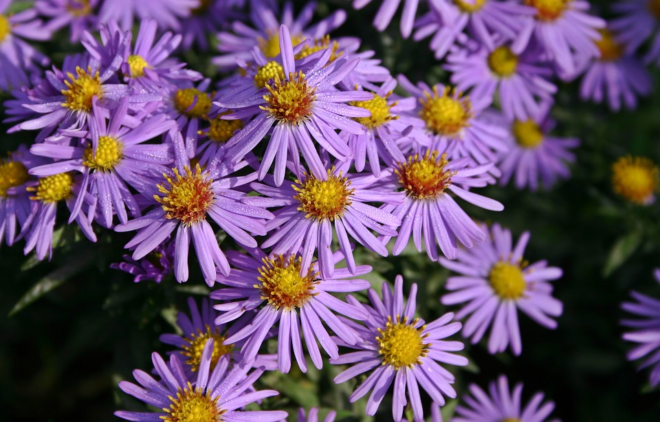 free photo violet herbstaster aster purple autumn flower  max pixel, Beautiful flower