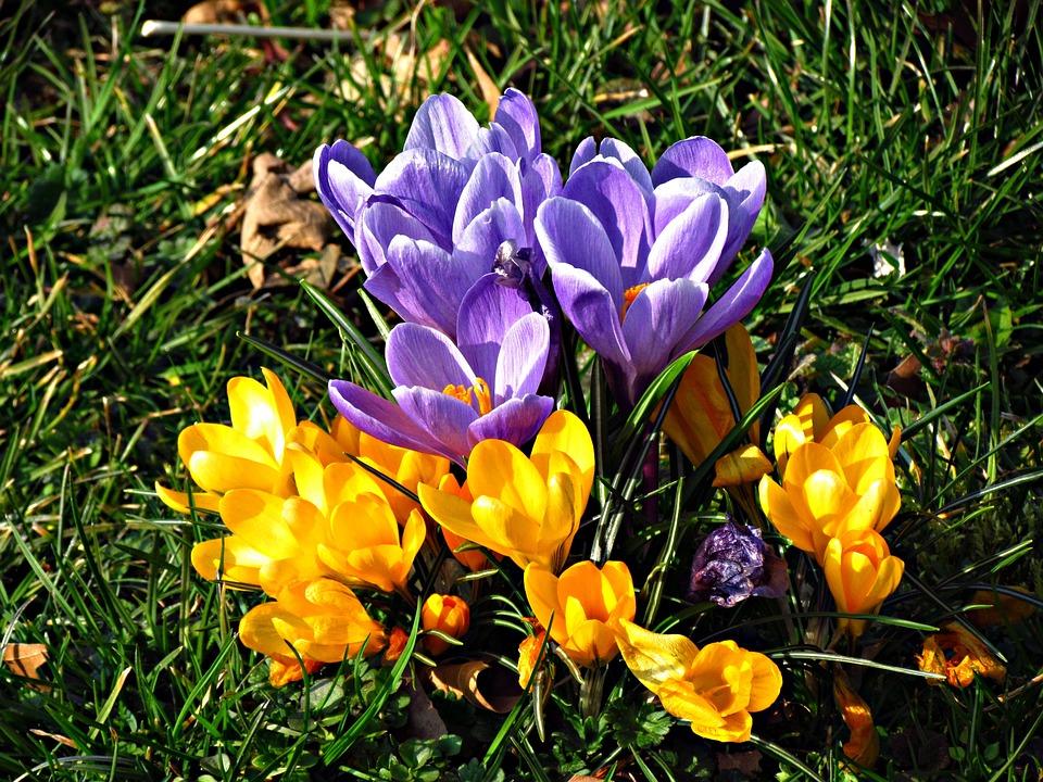 Free photo Violet Meadow Crocus Spring Flower Flowers Gentle - Max Pixel