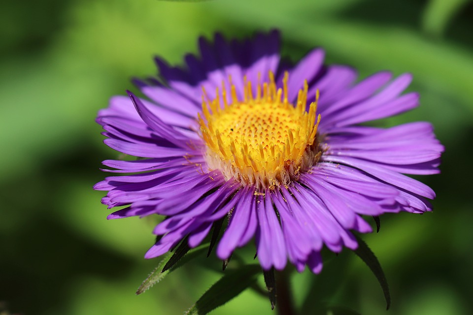 Aster, Blossom, Bloom, Purple, Violet, Yellow, Petals