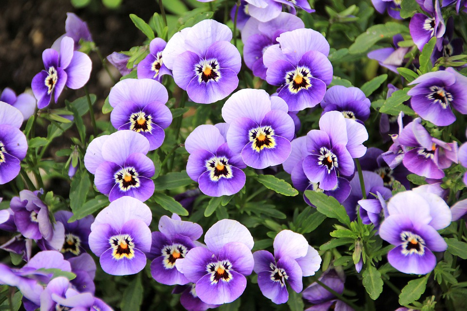Flowers, Pansy, Plant, Purple, Violet