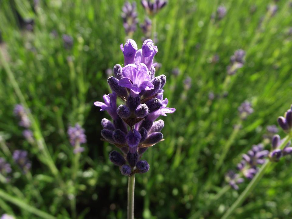 Lavender, Plant, Purple, Nature, Summer, Violet