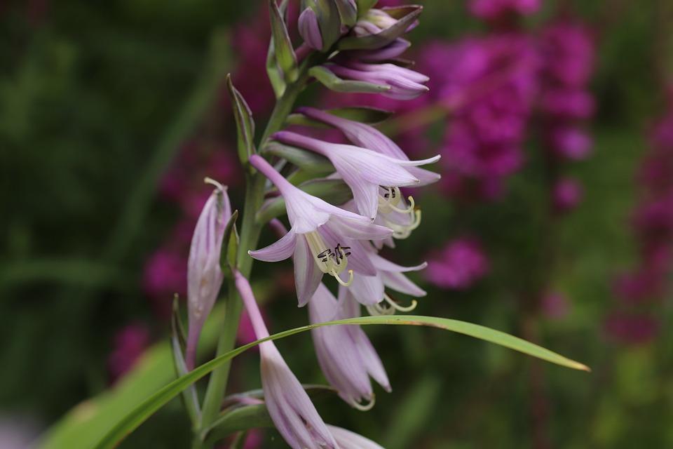 Hosta, Plantain Lily, Flower, Violet, Bloom, Shrub