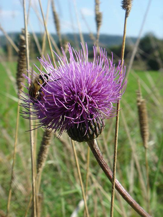 Thistle, Autumn, Nature, Violet, Wild Plant, Bee