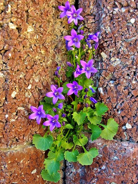 Bluebells, Purple, Wall, Garden, Violet