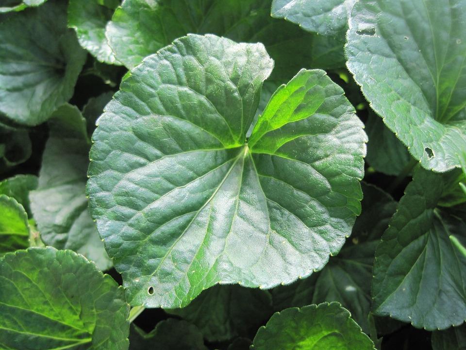 Violet Leaf, Leaf, Green, Violets, Veined