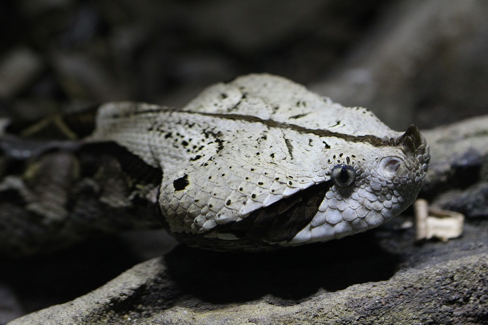 Snake, Face, Viper, Close Up, Scale, Eyes, Zoo, Reptile