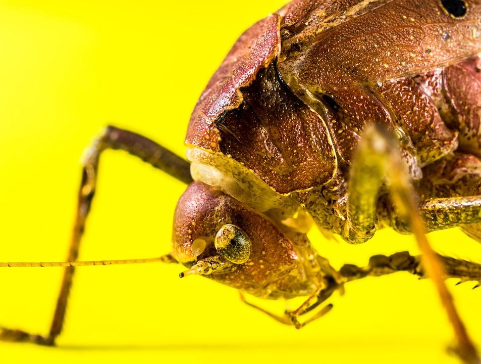 Grasshopper, Viridissima, Insect, Scare, Chitin, Close