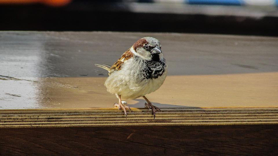 Sparrow, Visitor, Looking, Bird, Hungry