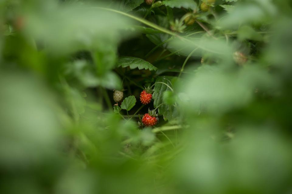 Wild Strawberry, Berry, Fresh, Plant, Vitamin, Useful