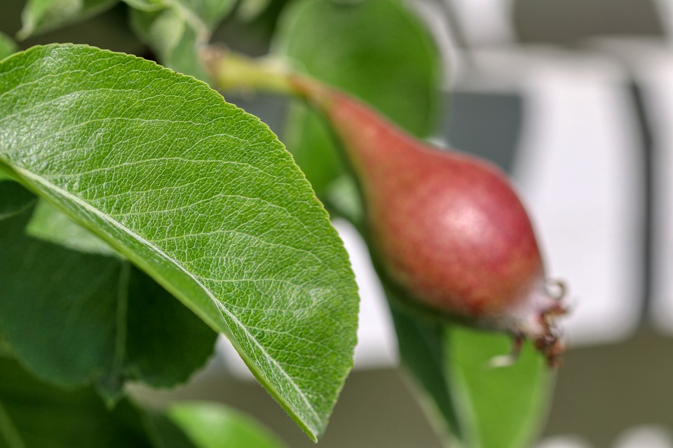 Apple, Grow, Leaf, Vitamins, Apple Tree, Garden, Leaves
