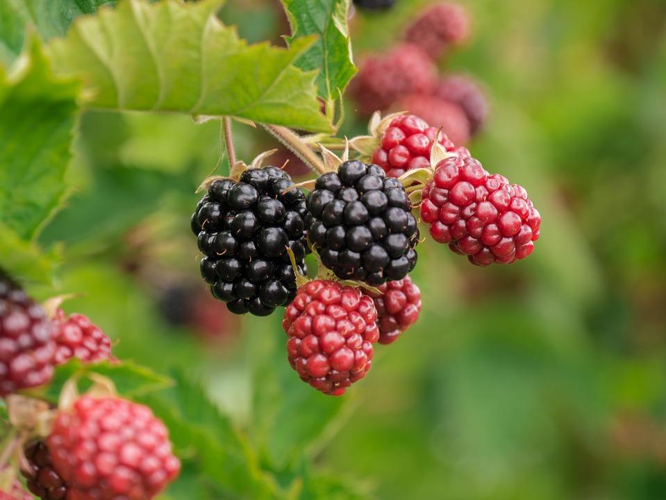 Berry, Blackberries, Fruit, Fruits, Ripe, Vitamins