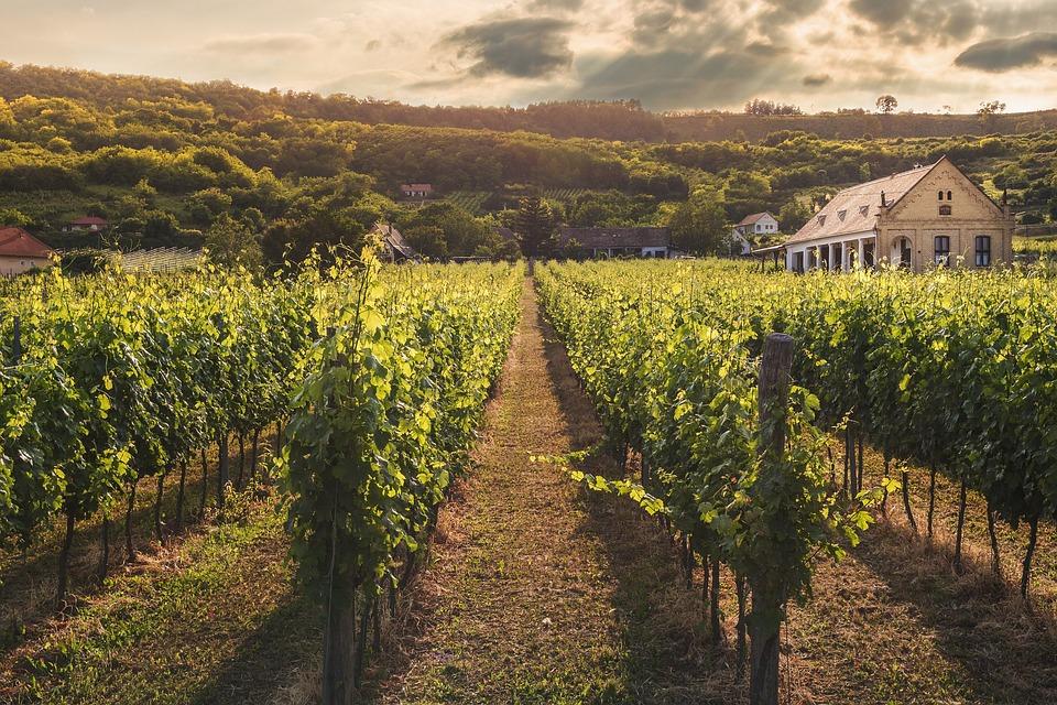 Vine, Vineyard, Viticulture, Wine, Winemaking, Winery