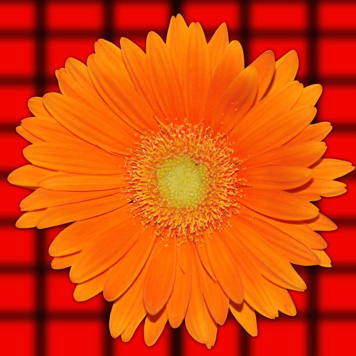 Flower, Vivid, Summer, Nature, Color, Orange Daisy