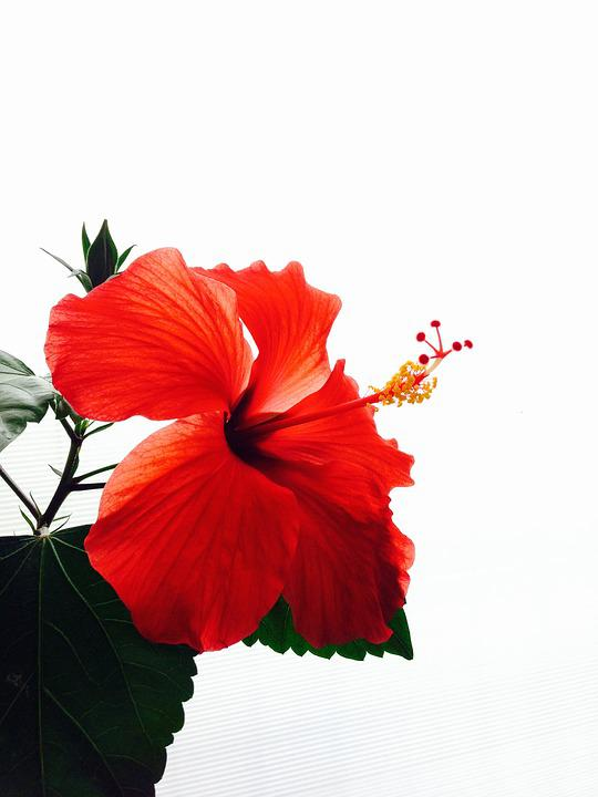 Hibiscus, Red, Flowers, Southern Countries, Vivid