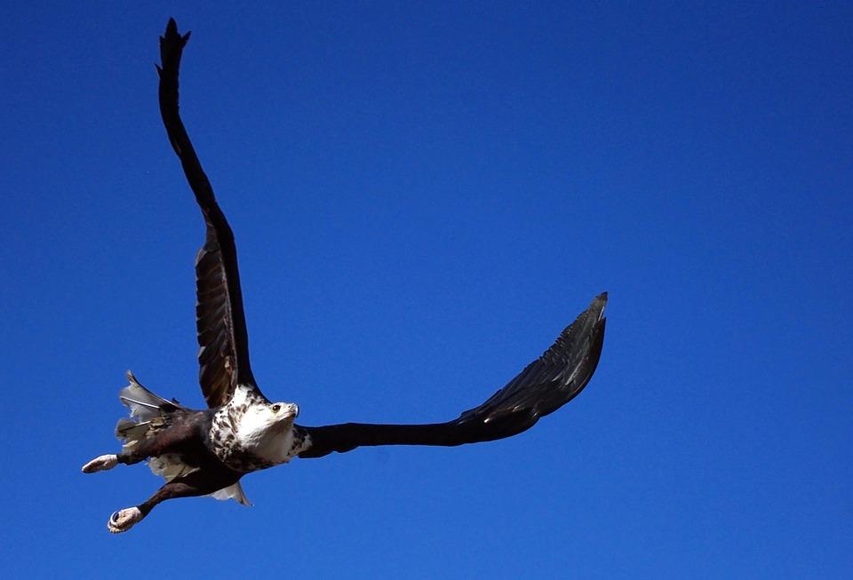 Adler, Bald Eagle, Vodel, Animal, Bird Of Prey, Raptor