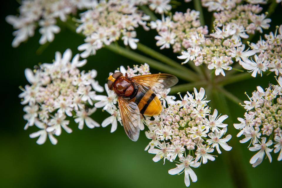 Hoverfly, Insect, Pollinate, Volucella Zonaria