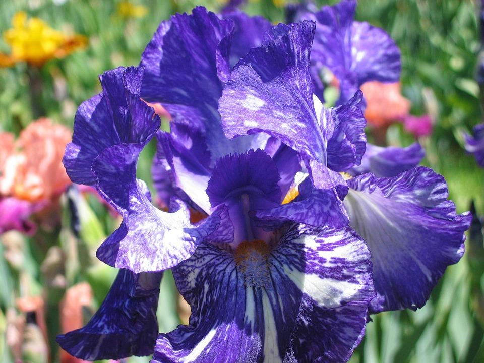 Purple Iris, Vuillerens, Spring
