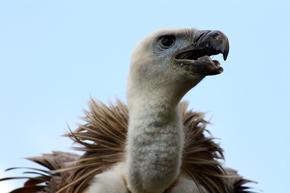 Vulture, Vulture Head, Vulture Beak
