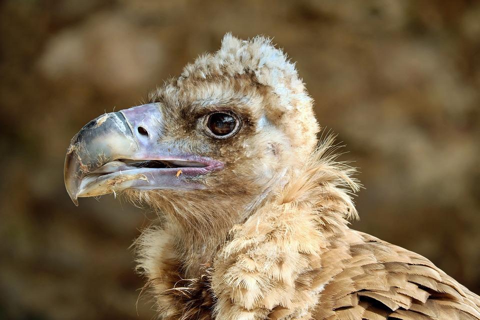 Black Vulture, Vulture, Cowl Vulture, Young Bird, Bird