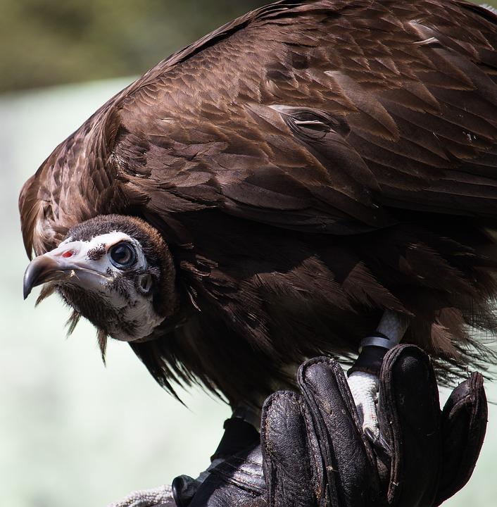 Vulture, Raptor, Bird, Nature, Animal, Animal World