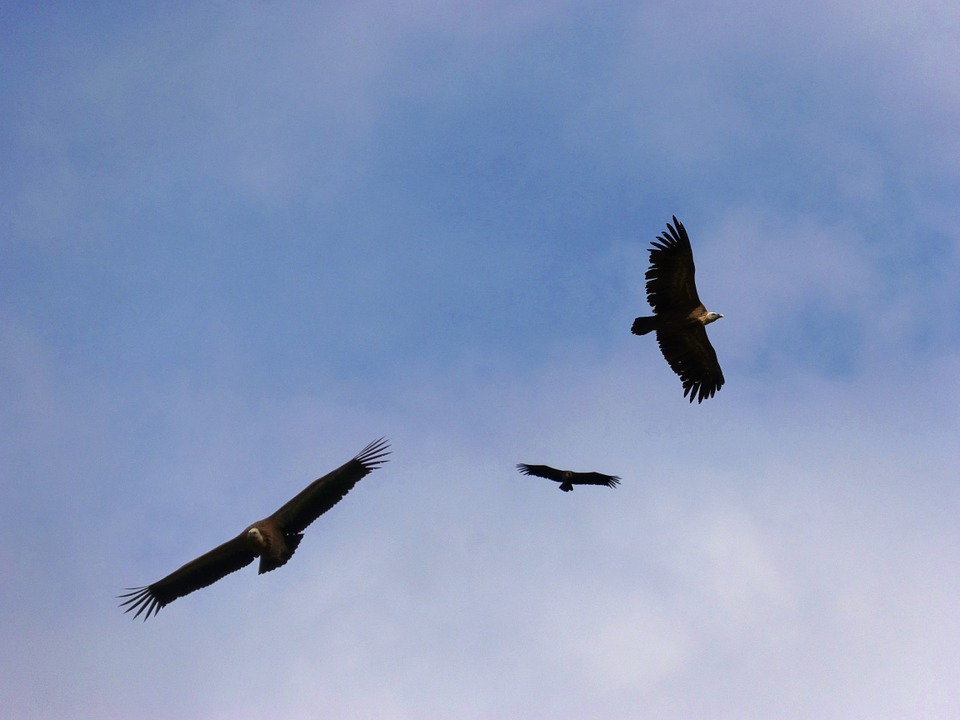 Vultures, Sky, Fly, Flight, Fauna, Birds, Vulture