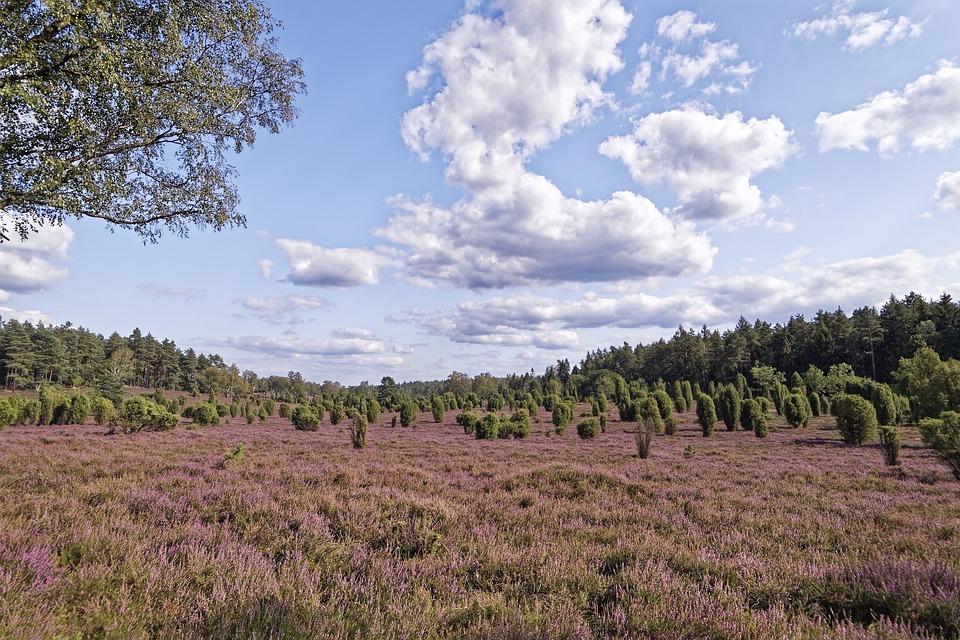 Germany, Wacholderheide, Eller Village, Nature, Heather