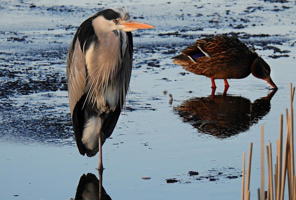 Heron, Wading Bird, Bird, Predator, Animal, Wildlife