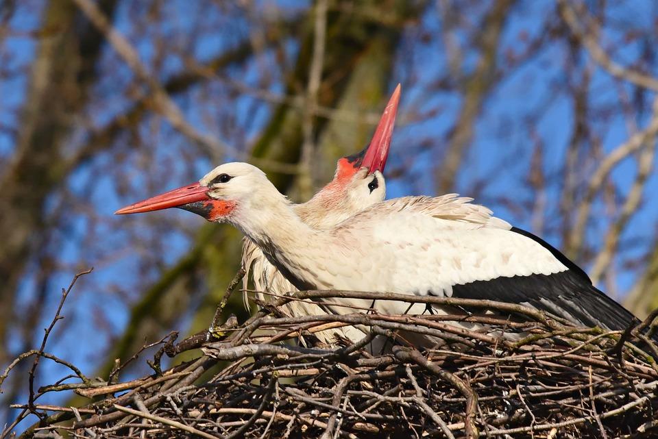 Stork, Wading Bird, Animal, Nest, Beak, Plumage