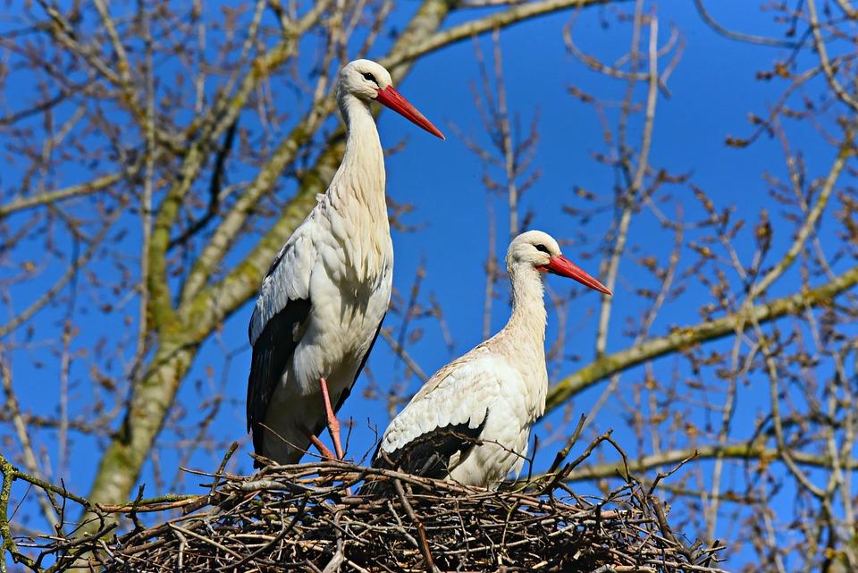 Stork, Wading Bird, Animal, Wildlife, Plumage, Feather