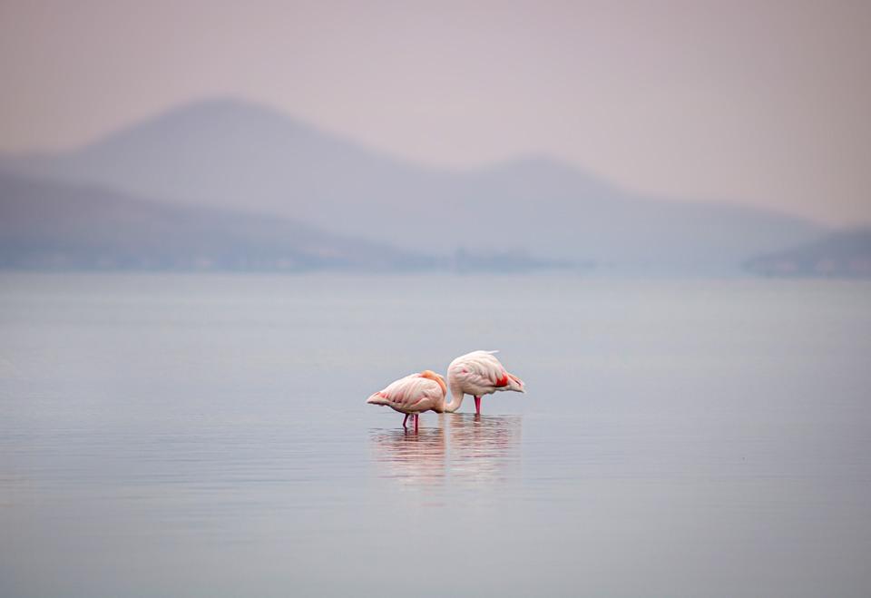 Flamingos, Birds, Lake, Animals, Wading Birds
