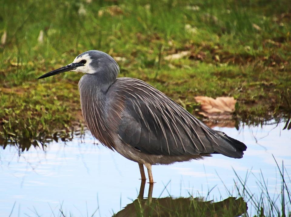 Bird, Grey, Heron, Wading, Wildlife, Lake, Nature