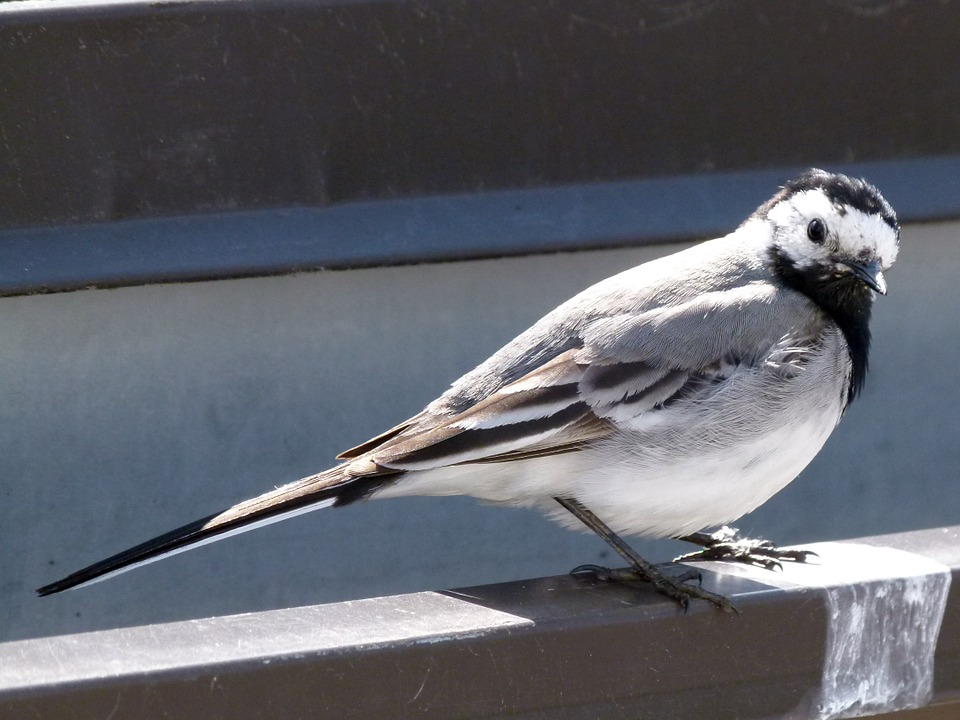 Wagtail, Bird, Close-up