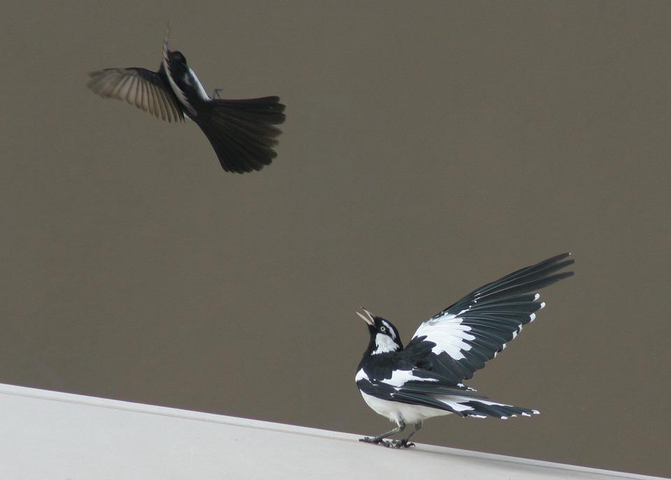 Bird, Wagtail, Nature, Wildlife, Animal, Australian