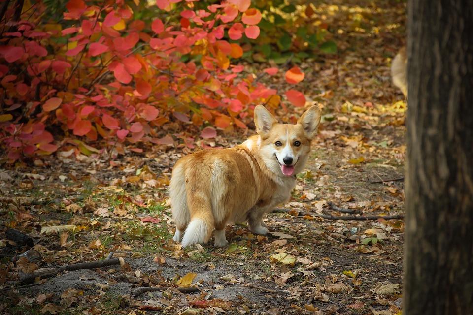 Corgi, Waiting, Looking, Attention, Dog, Shepherd's Dog