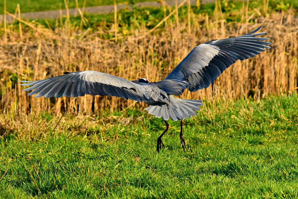 Heron, Waking Bird, Animal, Flight, Wing, Feather