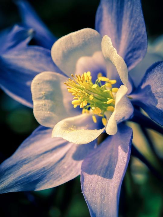 Columbine, Flower, Plant, Waldakelei, Petals, Stamen