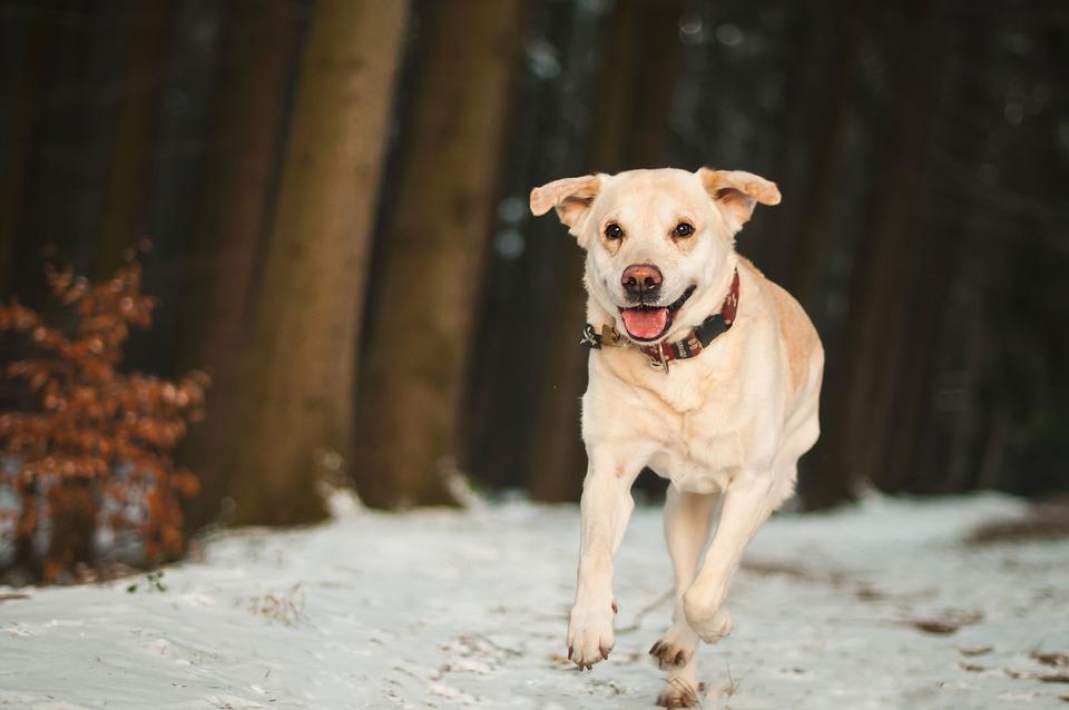 Dog, Labrador, Animal, Walk, Run, Outdoors, Winter