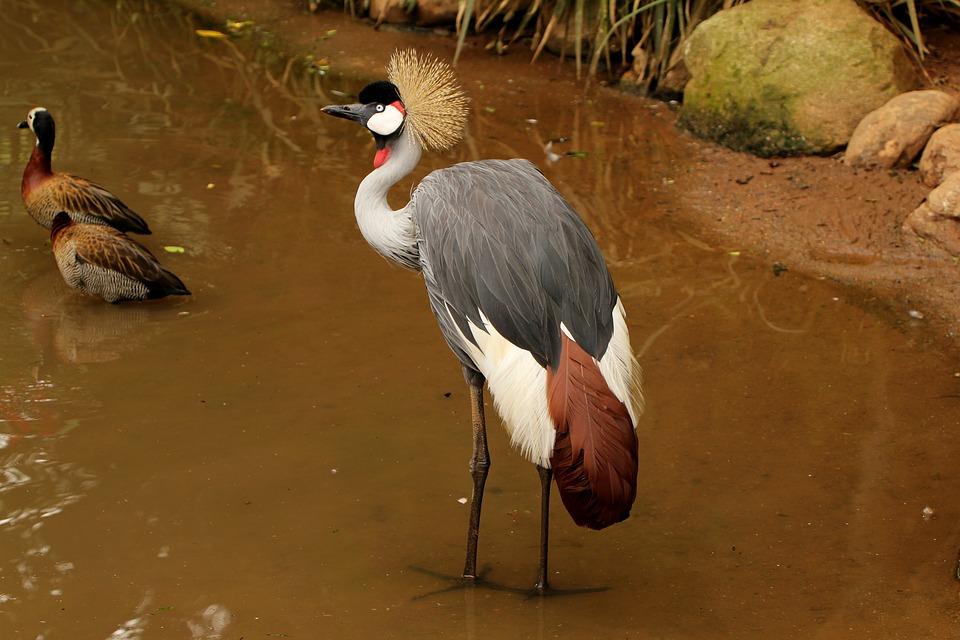Crowned Crane, Crown, Crest, Walking On The Lake