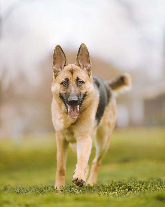 German Shepherd, Dog, Walking, Play, Pet, Animal
