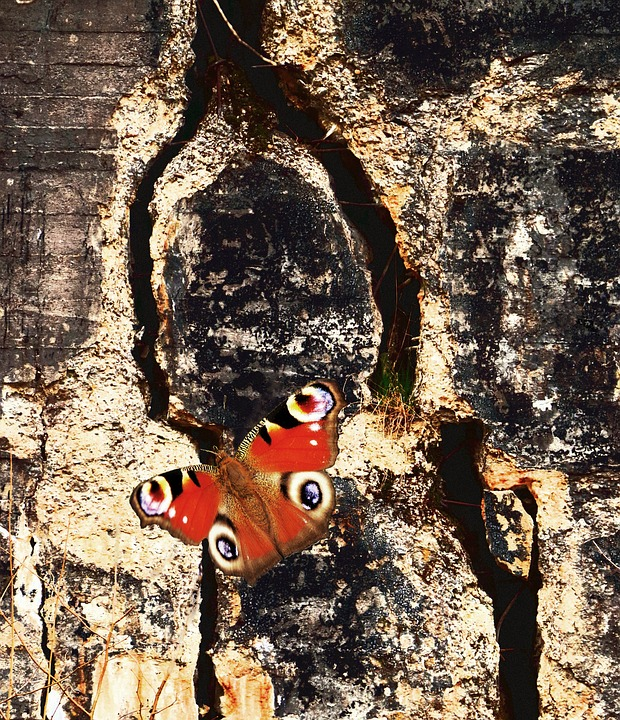 Butterfly, Peacock, Insect, Close, Wall, Crack