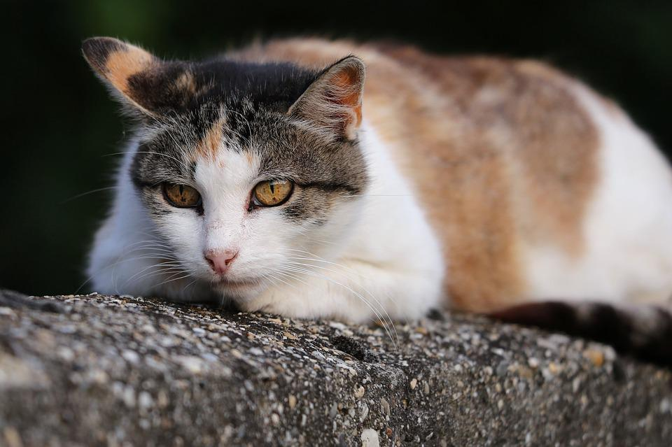 Domestic Cat, Animal, Head, Cute, Eyes, Wall, Nature