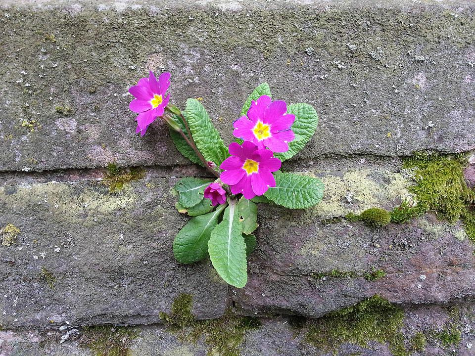 Wallflower, Primrose, Wall, Frugality