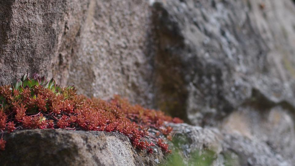 Stone Crop, Stone, Plant, Mountains, Wall