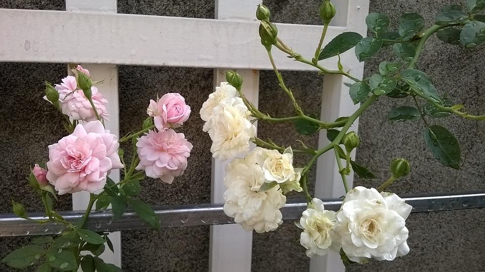 Flower, Roses, Tree, The Garden, Tea Roses, Wall