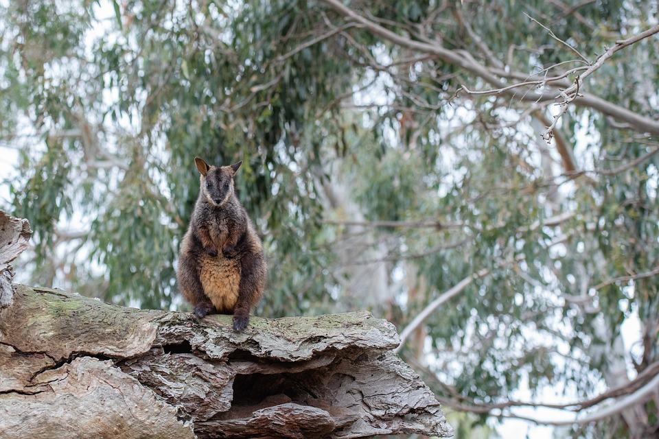 Brush-tailed Rock-wallaby, Wallaby, Marsupial, Mammal