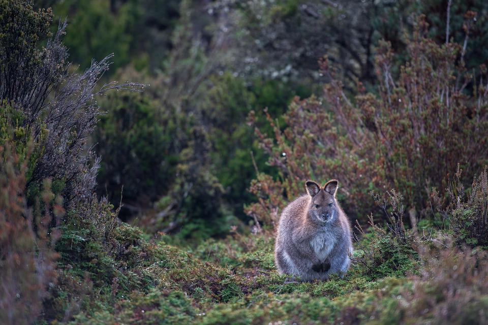 Wallaby, Red-necked Wallaby, Bennett's Wallaby