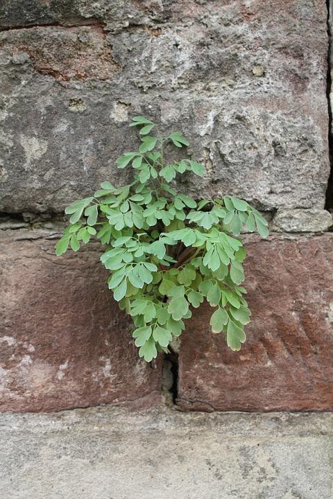 Wallflower, Plant, Wall Plant, Stone Garden, Wall