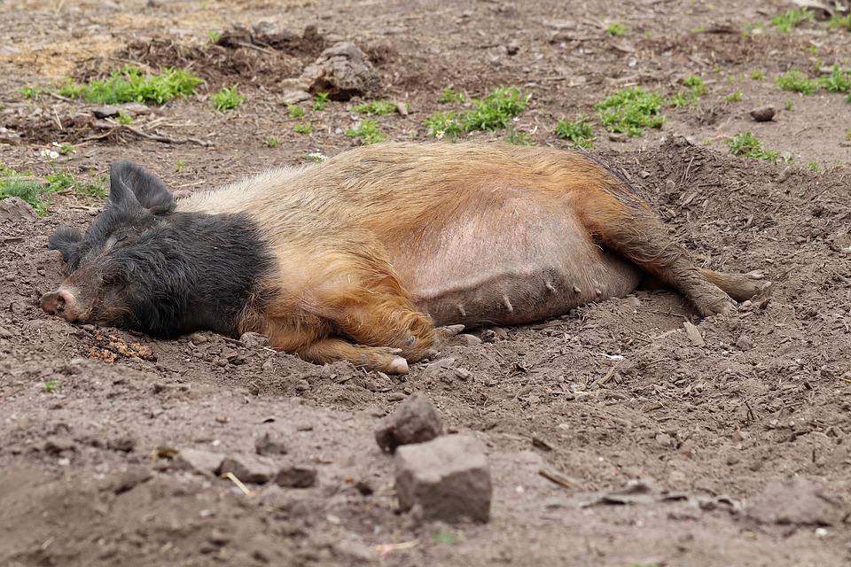 Sow, Pig, Domestic Pig, Pet, Livestock, Mud, Wallow